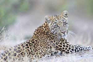 Leopard Reclining hi rez-Mandel