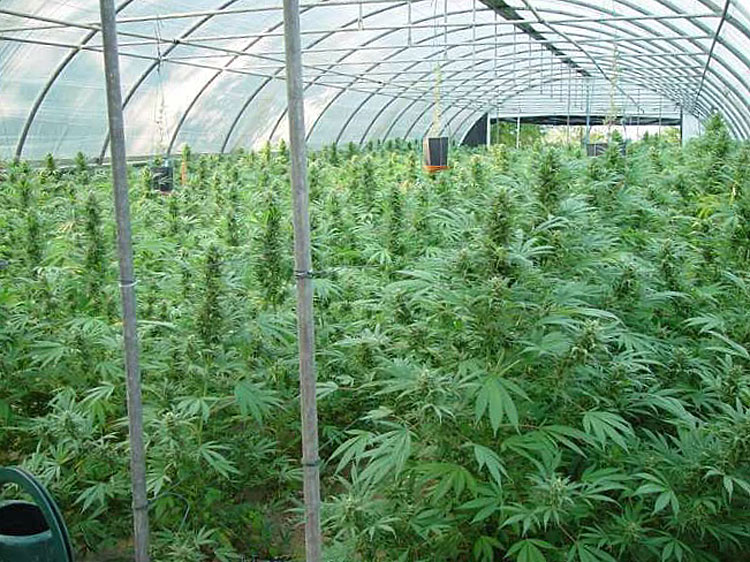 Commercial Cultivation Times Publishing Group Inc tpgonlinedaily.com