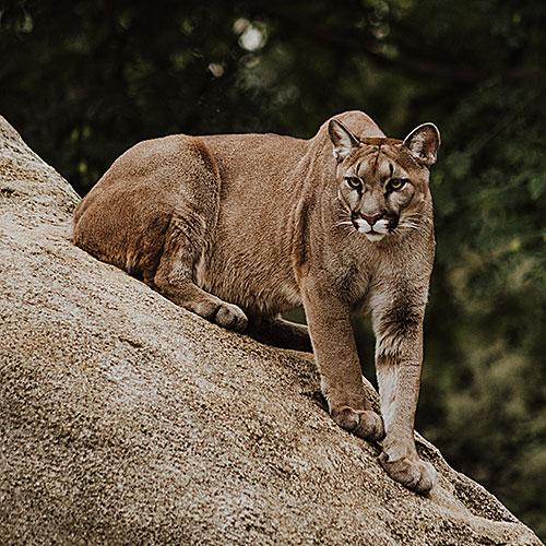 Mountain lion depredation california outdoors q as tpg - Garden city union free school district ...